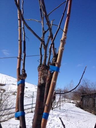 Првивка деревьев
