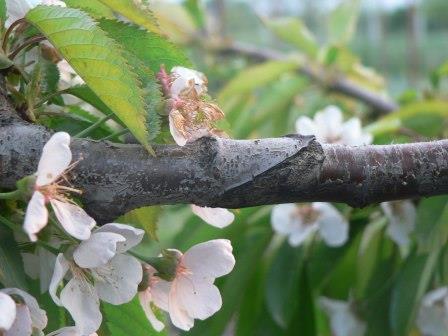 Првивка вишни